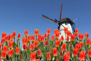 Dutch Windmill and orange red Tulips
