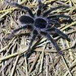 tarantula vogelspin hike sint maarten caribbean